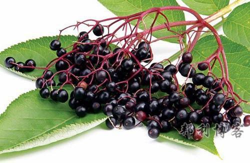 英国的水果-Elderflower (接骨木浆果)