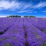 【Lavender Farm】2018年英国薰衣草庄园观赏指南