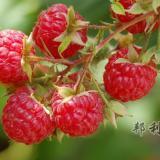 英国夏日野果树莓,天然减肥神器