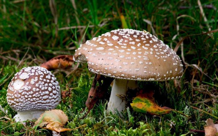 英国的毒蘑菇
