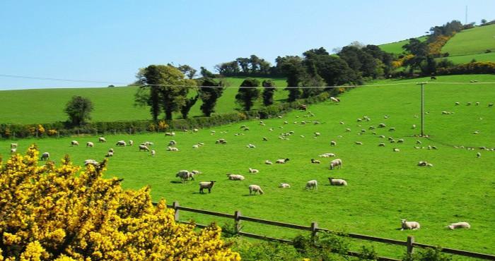 爱尔兰牧场