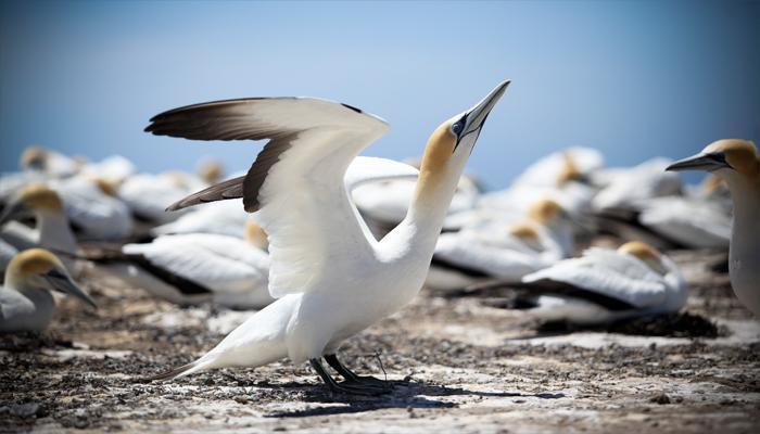 塘鹅(Gannets)