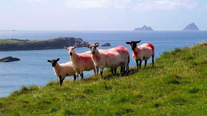 爱尔兰绵羊