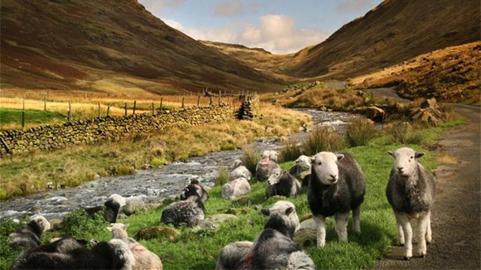 英国湖区羊儿
