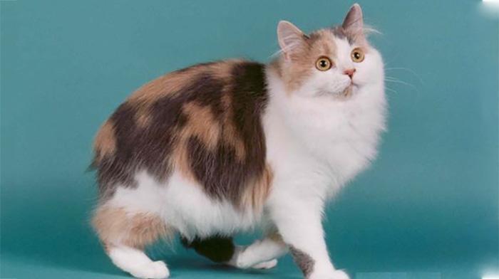 长毛的曼岛猫