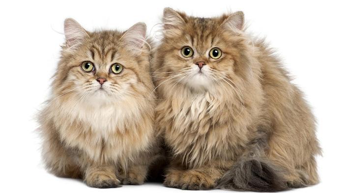 英国长毛猫