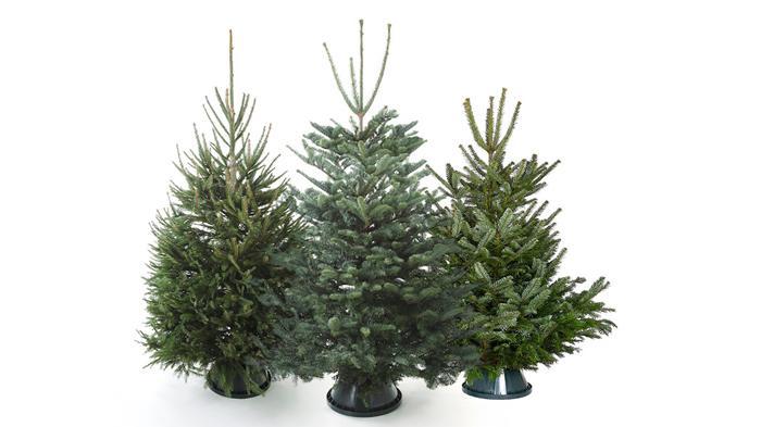 圣诞树种类